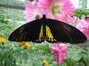 Butterfly-Malaysia-Cameron-Highland-Butterfly-Park-02